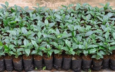 Coffee Plants In A Nursery