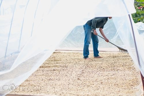 Drying coffee beans in clean room