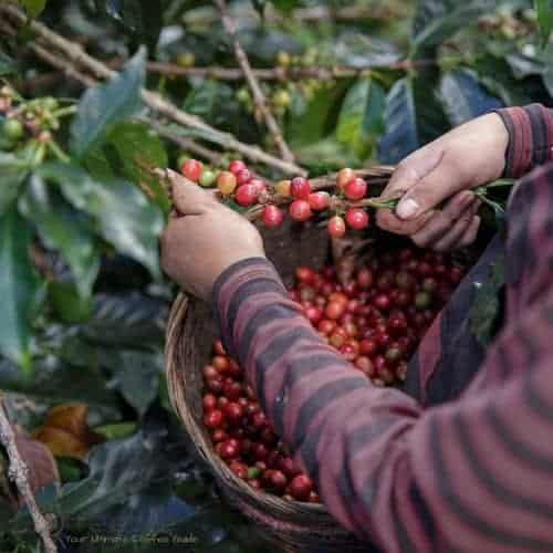 Farmer Picking Ripe Coffee Berries