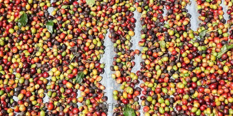 Sorting and selecting coffee cheries