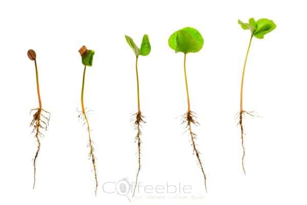 coffee-sapling-or-seedling-with-visible-root