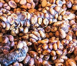 coffee berries eaten and passed by civet cat Kopi Luwak