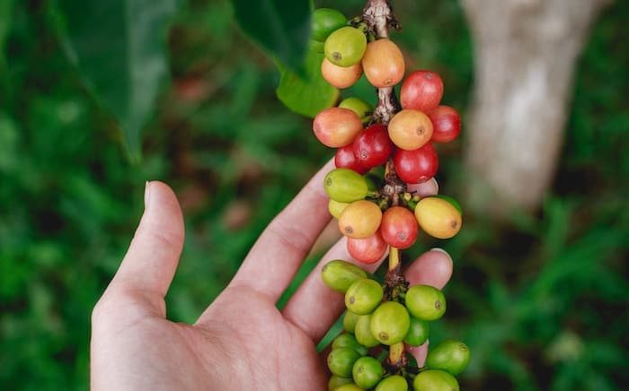 arabica coffee on a tree